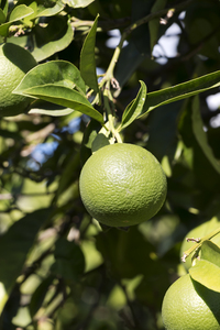 Green oranges: Green (unripe) oranges in an orchard in Majorca, Balearic Islands, Spain.