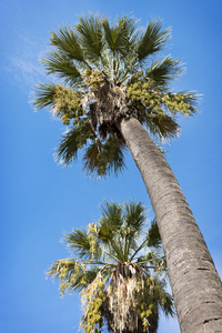 Palm trees: Palm trees in flower, with a pollen cloud blowing in the breeze, in Majorca, Balearic Islands, Spain.