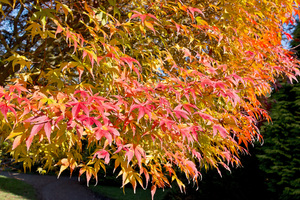 Autumn colour: Leaves of an ornamental Acer tree in a garden in England in autumn.