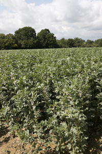 Broad bean crop: A crop of broad bean (Vicia faba) plants on a farm in West Sussex, England, in May.