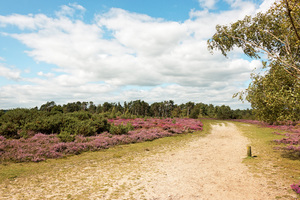 Heath landscape: Sandy heath landscape with heather (Calluna) in flower on Frensham Common, Surrey, England.