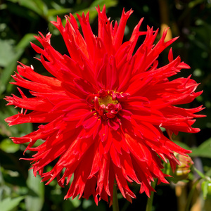 Red dahlia flower: A red dahlia in a garden in Kent, England, in early autumn.