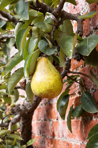 Pear: A pear (Pyrus) on an espalier pear tree in a walled garden in England.