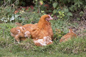 Hen and chicks: A hen and chicks in a paddock in England.