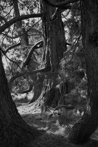 Redwood trees B/W: B/W of redwood (Sequoia) trees in parkland in a private estate in Somerleyton, Norfolk, England. Photography in these grounds was freely permitted.
