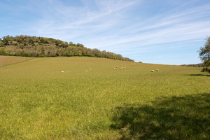 Sheep meadow: A sheep meadow at Levin Down, on the South Downs, West Sussex, England, in spring.