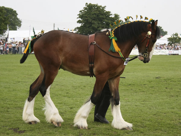 Shire horse 2: A shire horse at a display in West Sussex, England.