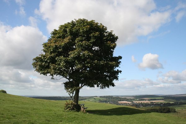 One tree, one seat: An isolated tree with a shaded seat on the South Downs, England, in summer.