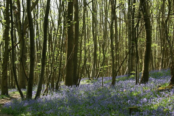 Bluebell woodland: Bluebells (Endymion non-scriptum) under chestnut (Castanea) trees in spring.