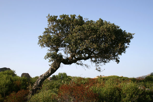 Resilient: A small drought-resistent tree on dry maquis on the coast of Sardinia.