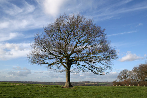 Winter tree: A single oak (Quercus robur) tree on the hills of the High Weald, West Sussex, UK, on a mild day in winter.