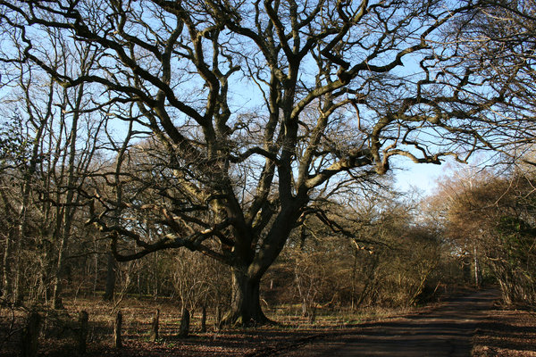 Forest oak: An oak (Quercus robur) tree in old woodland in West Sussex, UK, on a mild day in winter.