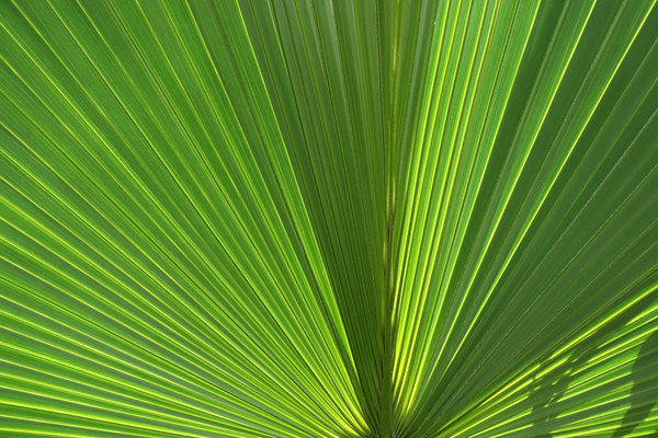 Fan palm: Bright sunlight shining through a leaf of a fan palm in southern China.
