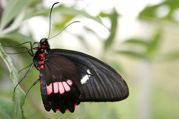 New butterfly: A Papilio butterfly newly emerged from its chrysalis.