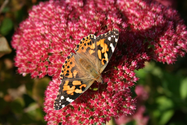 Lady on ice: A painted lady (Cynthia cardui) butterfly on an ice plant (Sedum) in Wales.