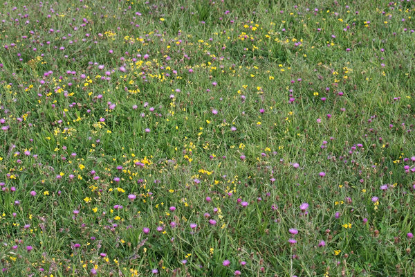 South Downs flora: Wild flora (mainly Lotus and Centaurea) of the chalk soil of the South Downs, West Sussex, England, in summer.