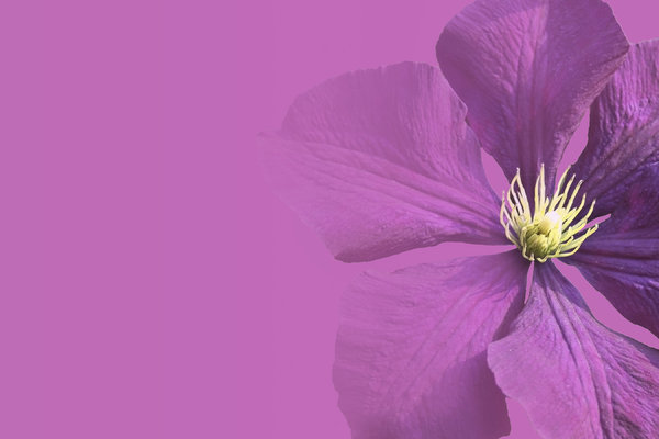 Calling card: Design based on a Clematis flower, with use as a business or calling card in mind.