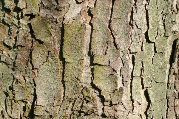 Sycamore bark: Bark of an old sycamore (Acer campestris) tree.