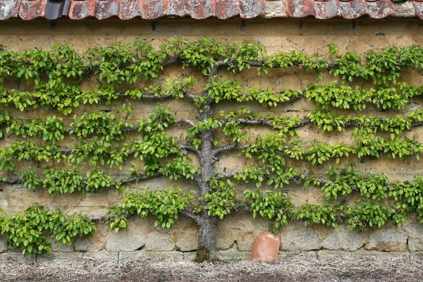 Espalier fruit tree: An espalier fruit tree - probably a pear (Pyrus) - growing in a walled garden in Somerset, England.