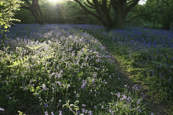 Bluebell light: Bluebells (Hyacinthoides non-scripta) in evening sunlight in woodland in West Sussex, England, in spring.