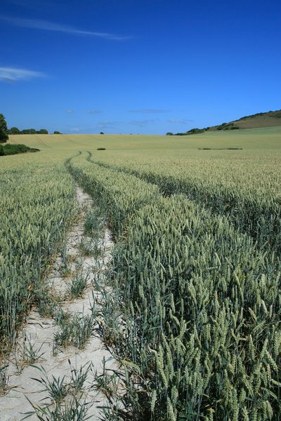 Ripening wheat: A field of almost ripe wheat in East Sussex, England.