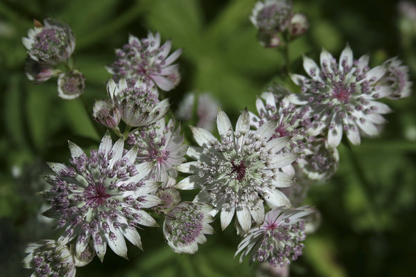 Astrantia flowers: Close-up of Astrantia flowers in a garden in England.