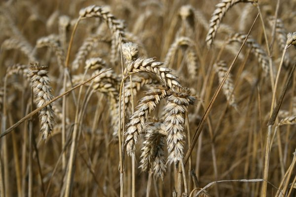 Ripe wheat: Ripe heads of wheat in a field in West Sussex, England.