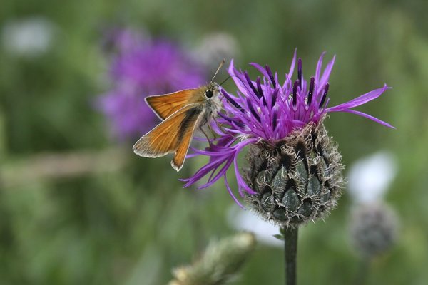 Small skipper butterfly: A small skipper butterfly (Thymelicus sylvestris) feeding at a flowerhead of knapweed (Centaurea) in East Sussex, England.