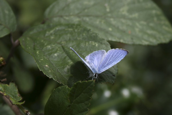 Holly blue butterfly: A holly blue butterfly (Celastrina argiolus) in West Sussex, England.