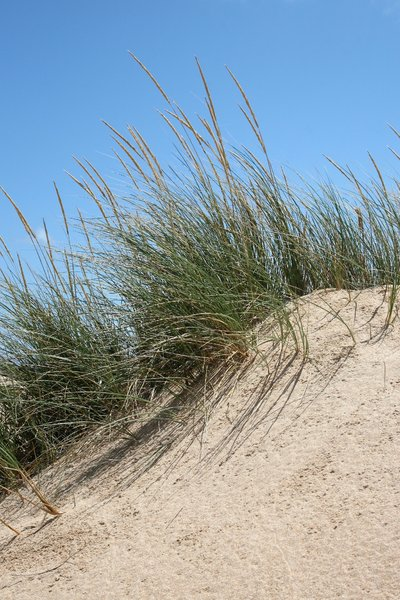 Sand dunes: Marram grass on coastal sand dunes in Spain.