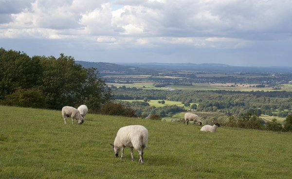 Downland sheep: Sheep on the South Downs, West Sussex, England.
