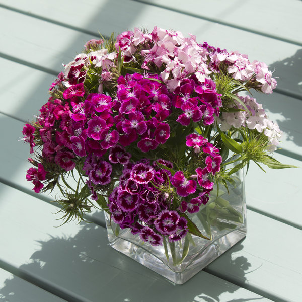 Vase of flowers: A vase of sweet william flowers from an English garden.