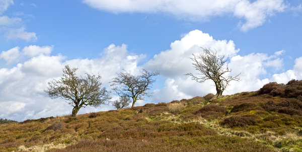 Moorland trees: Trees on a moor in the north of England in early spring.