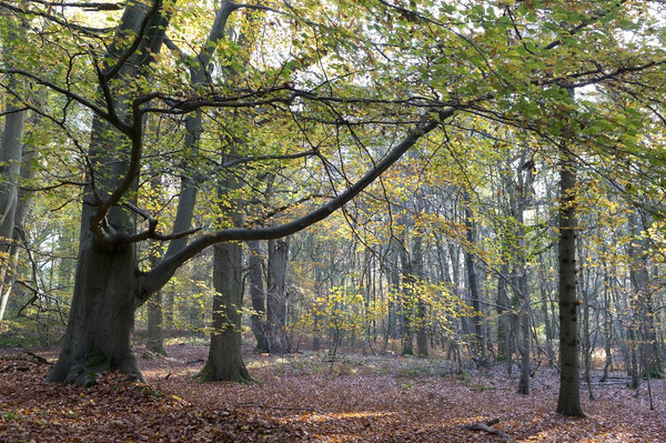 November forest: Beech (Fagus) forest in November in Sussex, England.