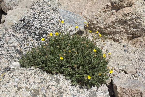 Rock plants: High altitude rock plants in the Rocky Mountains, USA.