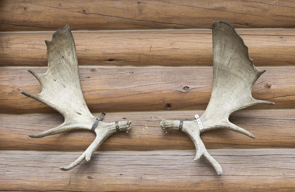 Antlers: Moose antlers mounted as a decoration on a log cabin in Canada.