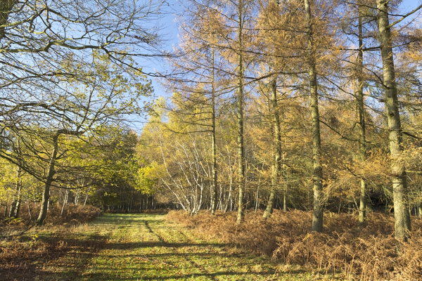 Autumn forest margin: A path bordering larch (Larix) woodland in autumn in West Sussex, England.