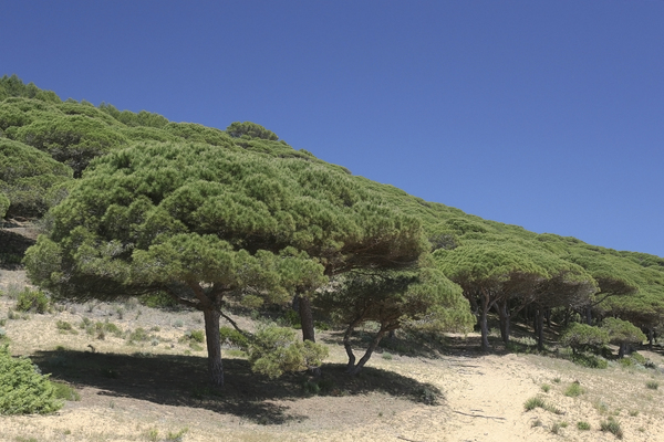 Stone pine forest: Old stone pines (Pinus pinea, also called umbrella pines) growing on extremely sandy soil in southern Spain.