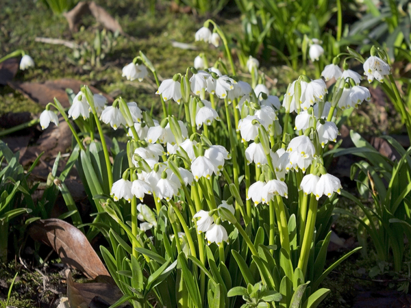 Spring snowflake flowers: Spring snowflake (Leucojum) flowers in a garden in West Sussex, England, in late winter.