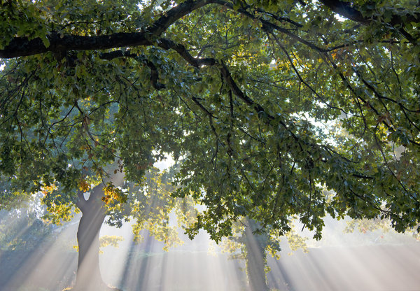 Autumn light: Early morning autumn sunlight shining through oak trees in a park in England.