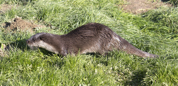 Otter: An otter (Lutra lutra) in Surrey, England.