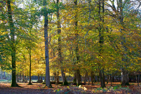 Autumn forest: Autumn colour in the New Forest, Hampshire, England.