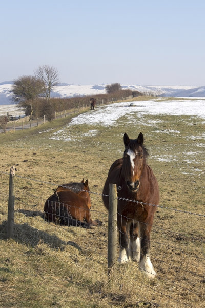 Short-legged horses: Short-legged horses on the South Downs, West Sussex, England, in winter.