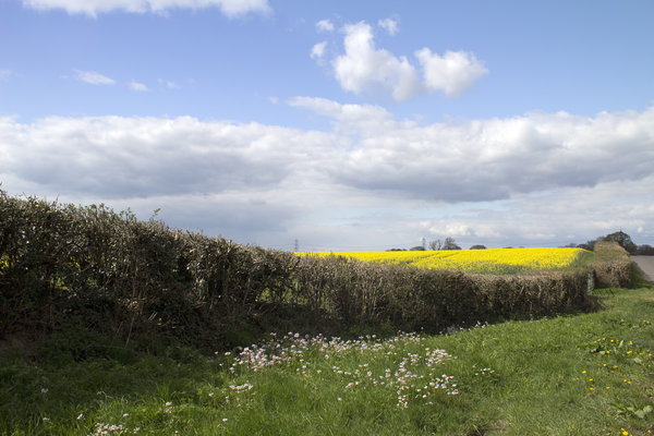 Spring hedegerow flowers: A hedgerow, flowers and rape crop in spring in West Sussex, England.