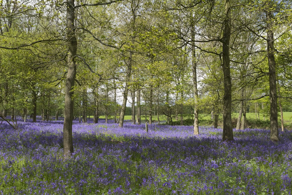 Woodland flowers in spring: Bluebells (Endymion non-scriptum) in flower in woodland in England in spring.