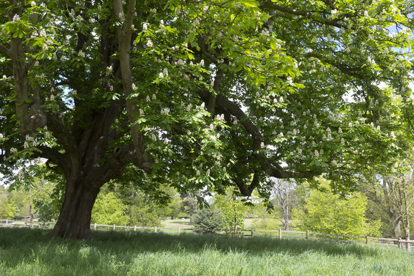 Shady tree in spring: A large horse chestnut (Hippocastanea) tree in flower in England in spring.