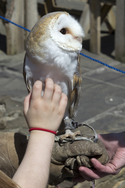 Barn owl: A tame barn owl (Tyto alba) at a falconry display.