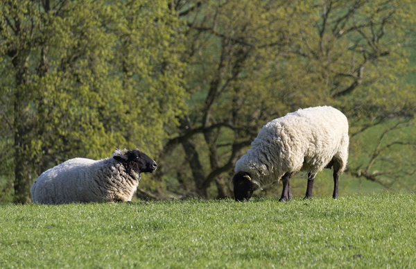 Sheep: Sheep on a farm in Sussex, England, in spring.