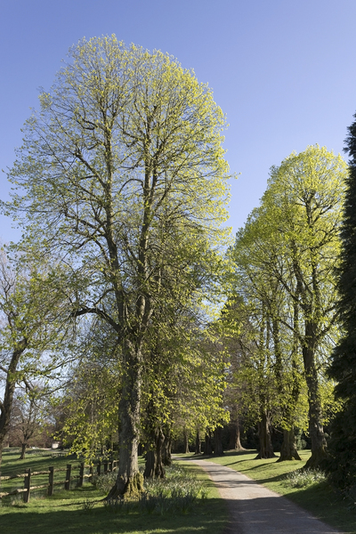 Trees in spring: An avenue of linden (Tilia, lime) trees, freshly in leaf in spring in West Sussex, England.