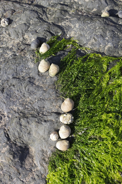 Sealife: Sea snails (periwinkles?) on rocks on a beach in Pembrokeshire, Wales.